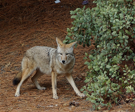 Yosemite Coyote